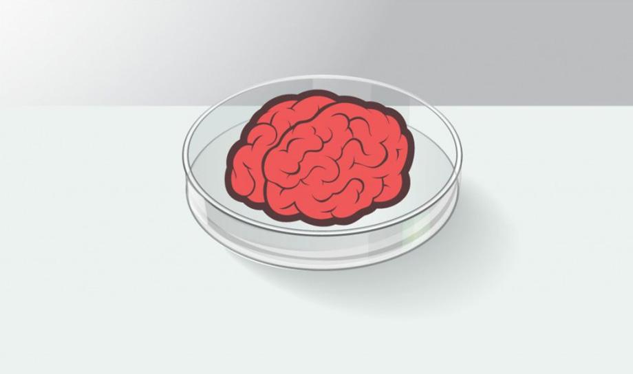 Учёным удалось вырастить мини-мозг