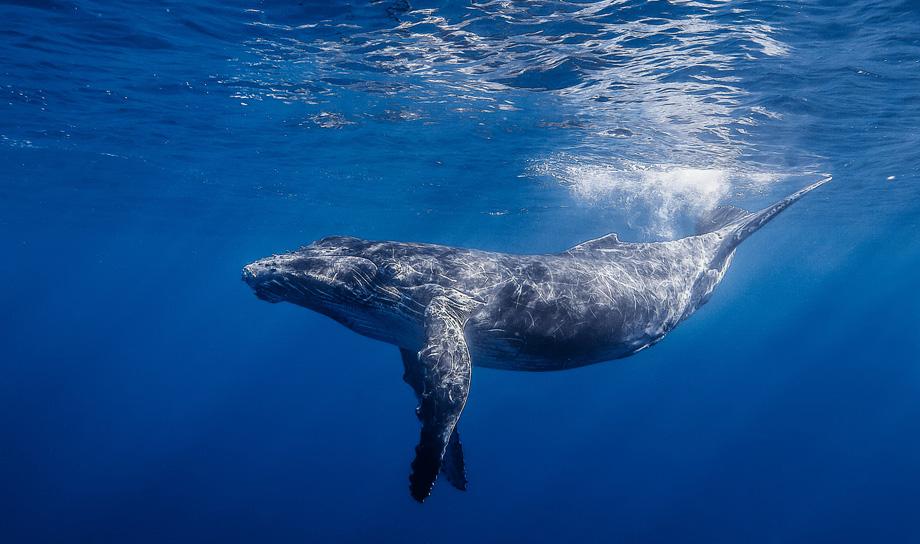Видео прыжка горбатого кита, снятое из-под воды